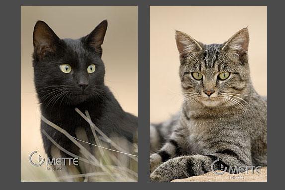 Hauskatzen, Domestic Cat, Portraet, portrait