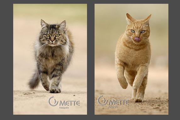 Hauskatzen, Domestic Cat