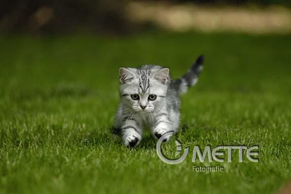 Britisch Kurzhaar, British Shorthair cat, Hauskatze, Domestic Cat, Portraet, portrait