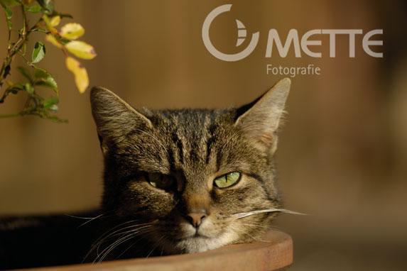 Hauskatze, Domestic Cat, Portraet, portrait