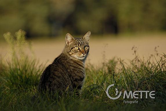 Hauskatze, Domestic Cat