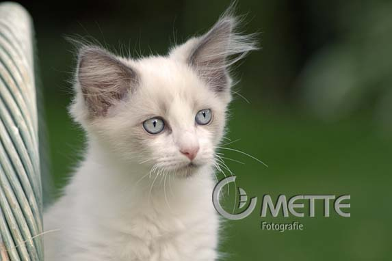 Ragdoll, Hauskatze, Domestic Cat, Portraet, portrait
