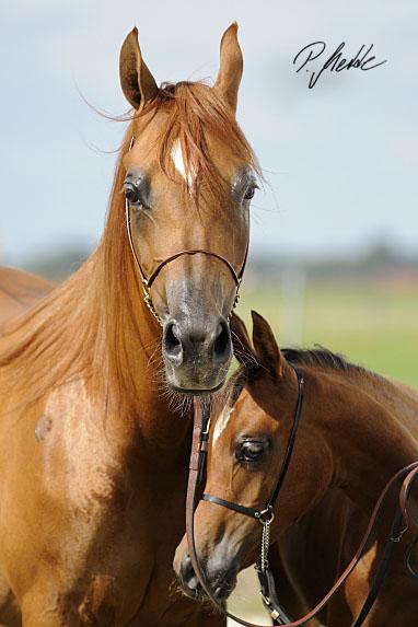 araber pferde bilder