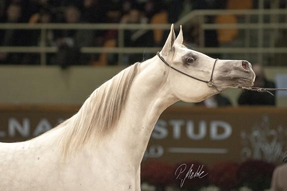 European Championships for Arabian Horses 2012, www. mette-naturfoto.de