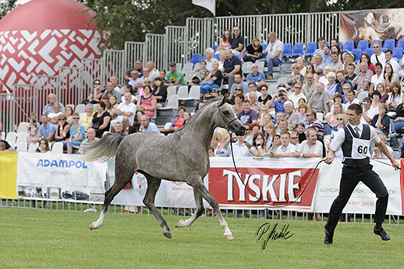 Polish National Arabian Horse Show, Yearling Colts