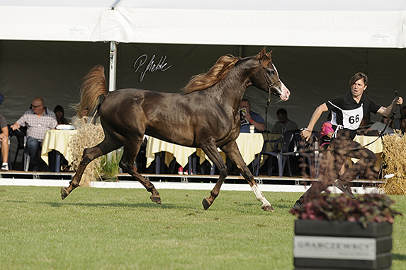 Polish National Arabian Horse Show, three year old colts