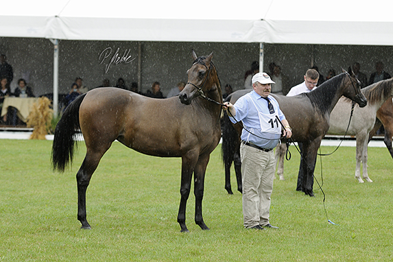Polish National Arabian Horse Show, Yearling Fillies
