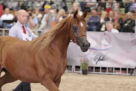 Polish National Arabian Horse Show, two year old fillies