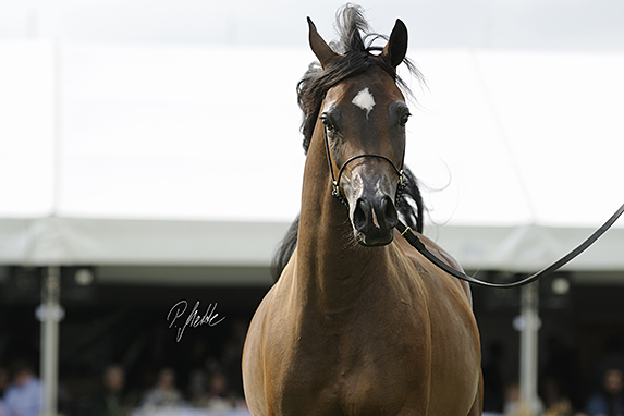 Polish National Arabian Horse Show, three year old fillies